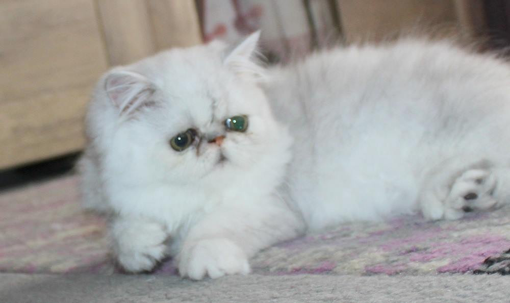 Persian Cats For Sale Colorado Springs Co 278104