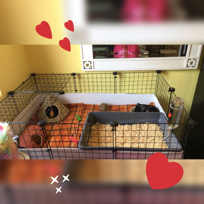 Peruvian Guinea Pig Rodents For Sale Santa Ana Ca 314562