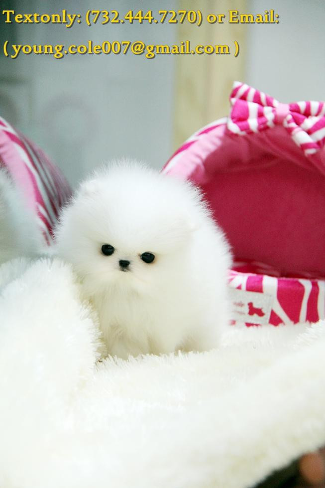 Pomeranian Puppies For Sale Houston Tx 79827 Petzlover