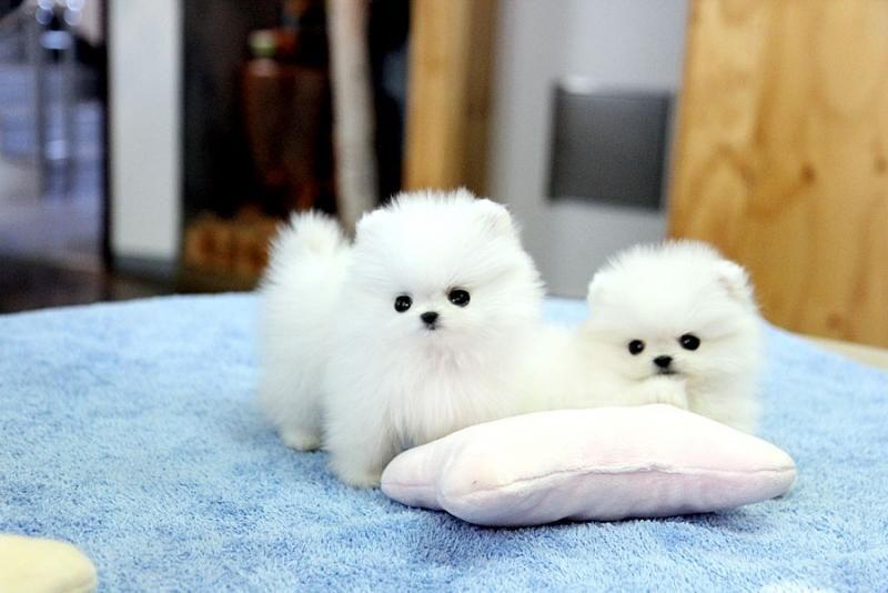 Pomeranian Puppies For Sale Denver Co 95653 Petzlover