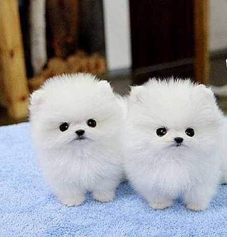 Pomeranian Puppies For Sale Laredo Tx 109292 Petzlover