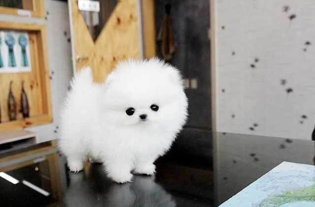 Pomeranian Puppies For Sale Des Moines Ia 120053