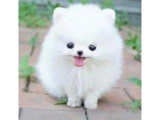 Pomeranian Puppies For Sale Nashville Tn 120687