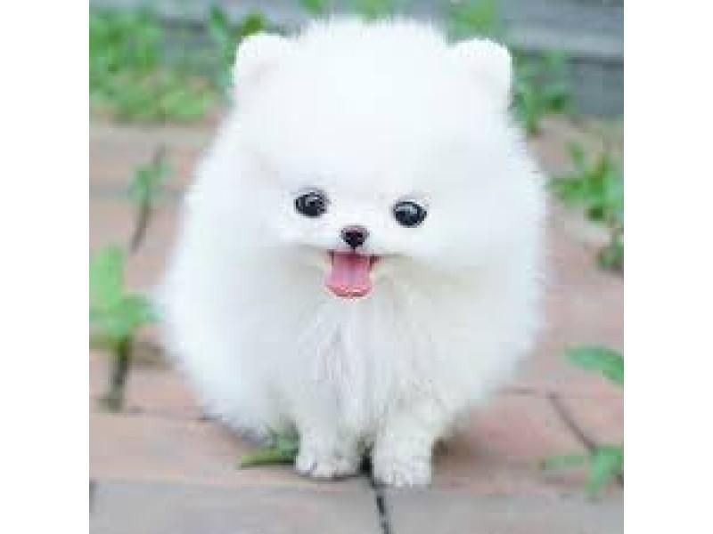 Pomeranian Puppies For Sale Atlanta Ga 125604