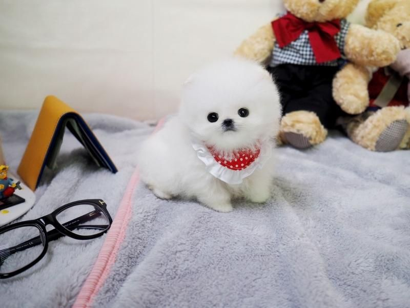 pomeranian breeders va pomeranian puppies for sale virginia beach va 126990 4739
