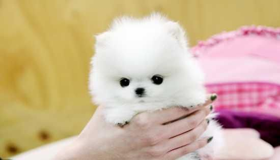 pomeranian puppies for sale in pittsburgh pa pomeranian puppies for sale pittsburgh pa 147093 4360