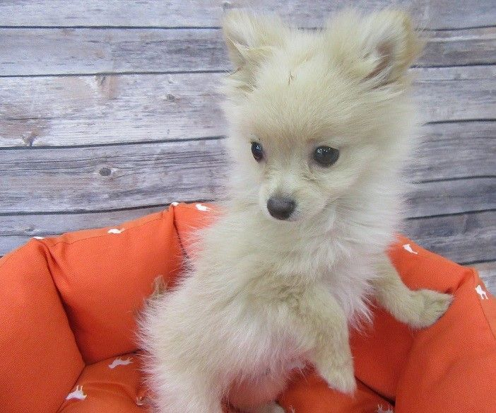 Pomeranian Puppies For Sale | Orange County, CA #173660