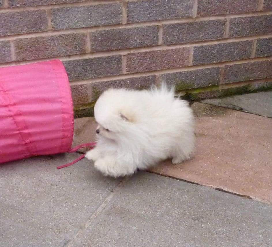 Pomeranian Puppies For Sale   Metro Center, MA #175482