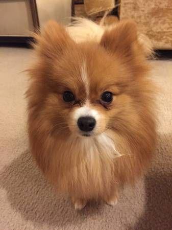 Pomeranian Puppies For Sale Atlanta Ga 176502