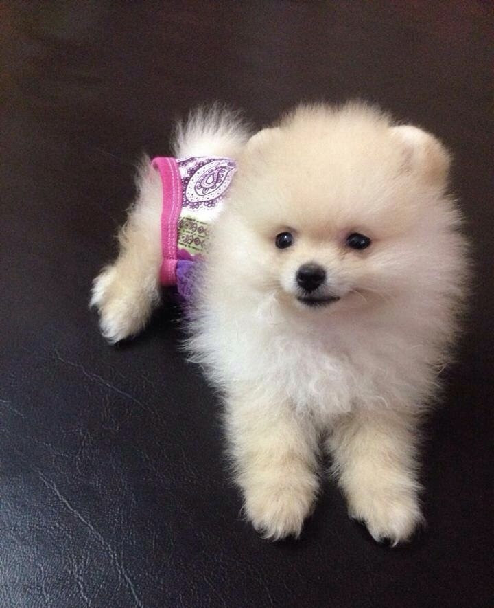 pomeranian puppies for sale in florida pomeranian puppies for sale melbourne fl 181315 5803