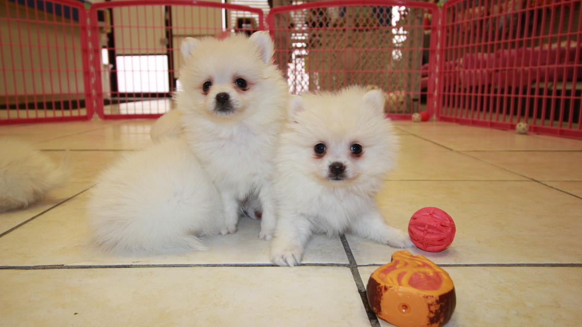 pomeranian puppies for sale in orange county pomeranian puppies for sale phoenix irvine ca 184362 109