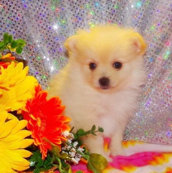 Pomeranian Puppies For Sale | Hartford, CT #187048