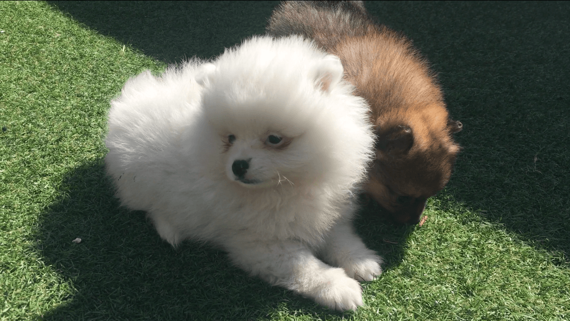 pomeranian oklahoma pomeranian puppies for sale central oklahoma city ok 300