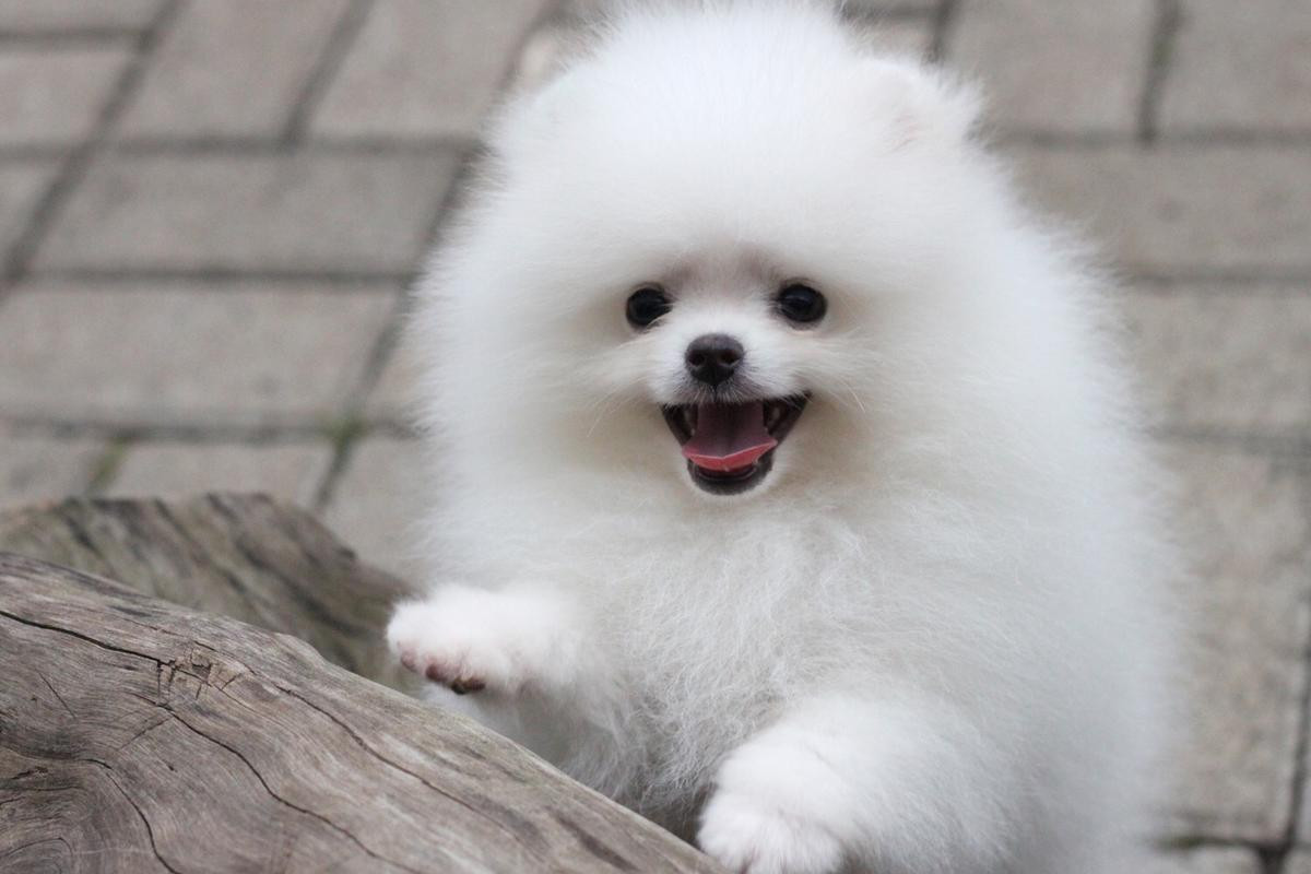 pomeranian breeders in pa pomeranian puppies for sale halifax pa 194702 1954