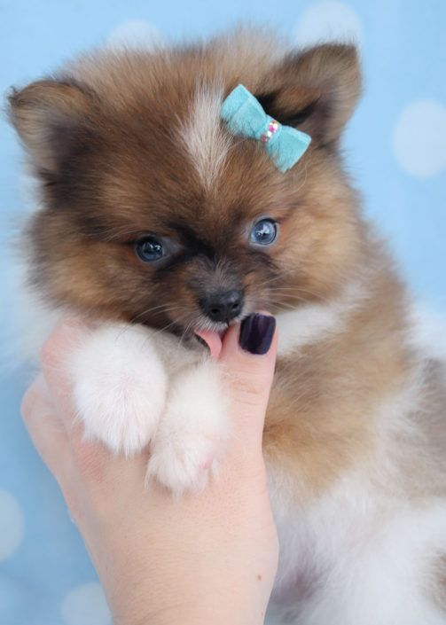 teacup pomeranian for sale in ky pomeranian puppies for sale kentucky 227 ky 197818 3169