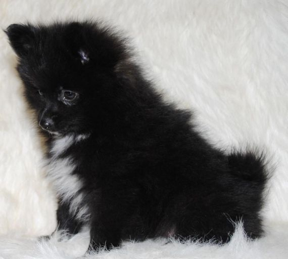 pomeranian puppies for sale colorado pomeranian puppies for sale colorado springs co 199007 2086