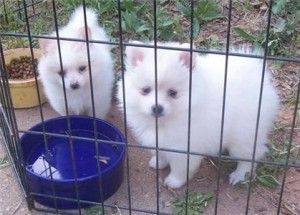 pomeranian puppies for sale in orange county pomeranian puppies for sale orange county ca 199532 4815