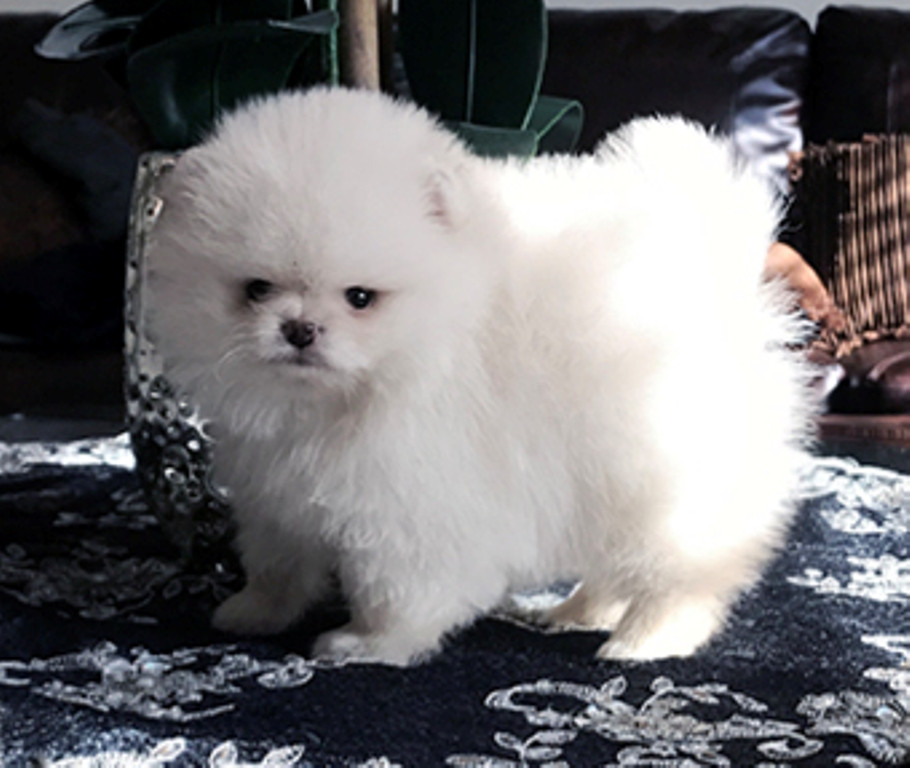 pomeranian puppies for sale in pittsburgh pa pomeranian puppies for sale philadelphia pa 199718 4067