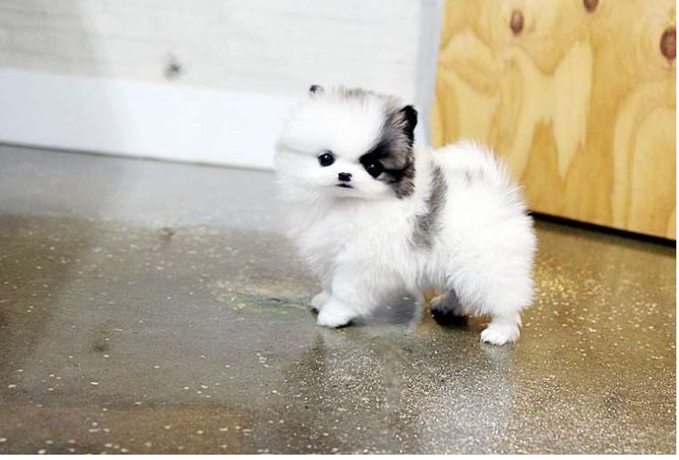 teacup pomeranian for sale in ky pomeranian puppies for sale louisville ky 200334 2043
