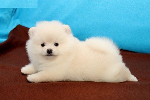 pomeranian breeders michigan pomeranian puppies for sale detroit mi 200614 3042
