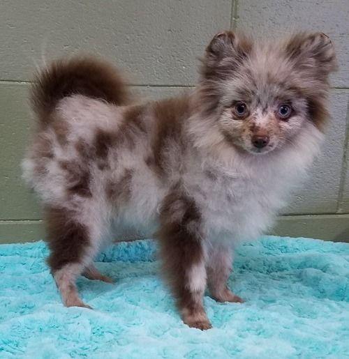 Pomeranian Puppies For Sale Abilene Houston Tx 202037