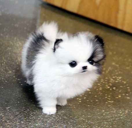 pomeranian breeders va pomeranian puppies for sale virginia beach boulevard va 6803
