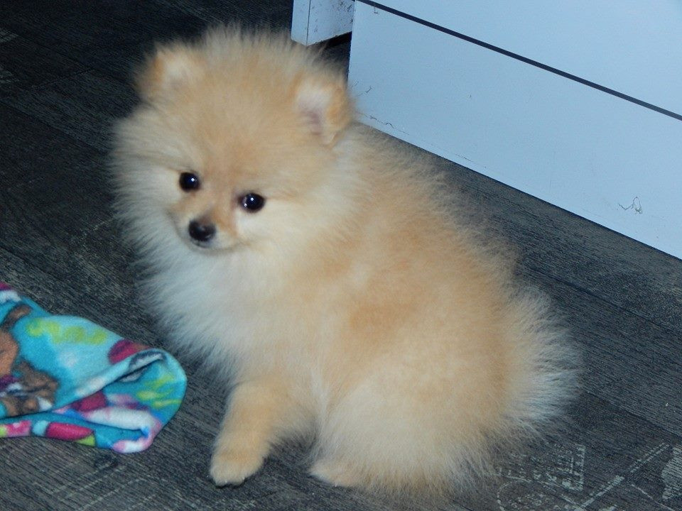 pomeranian california pomeranian puppies for sale los angeles ca 202895 4512