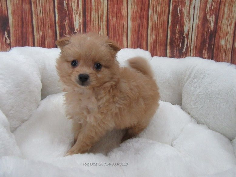 pomeranian puppies for sale in orange county pomeranian puppies for sale orange county ca 202924 298