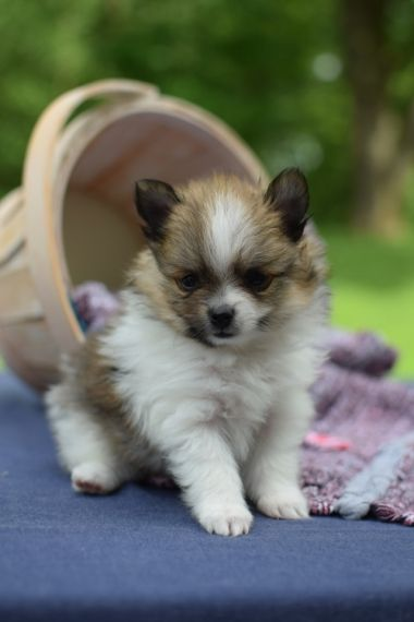 pomeranian puppies for sale in alabama pomeranian puppies for sale birmingham al 203479 775