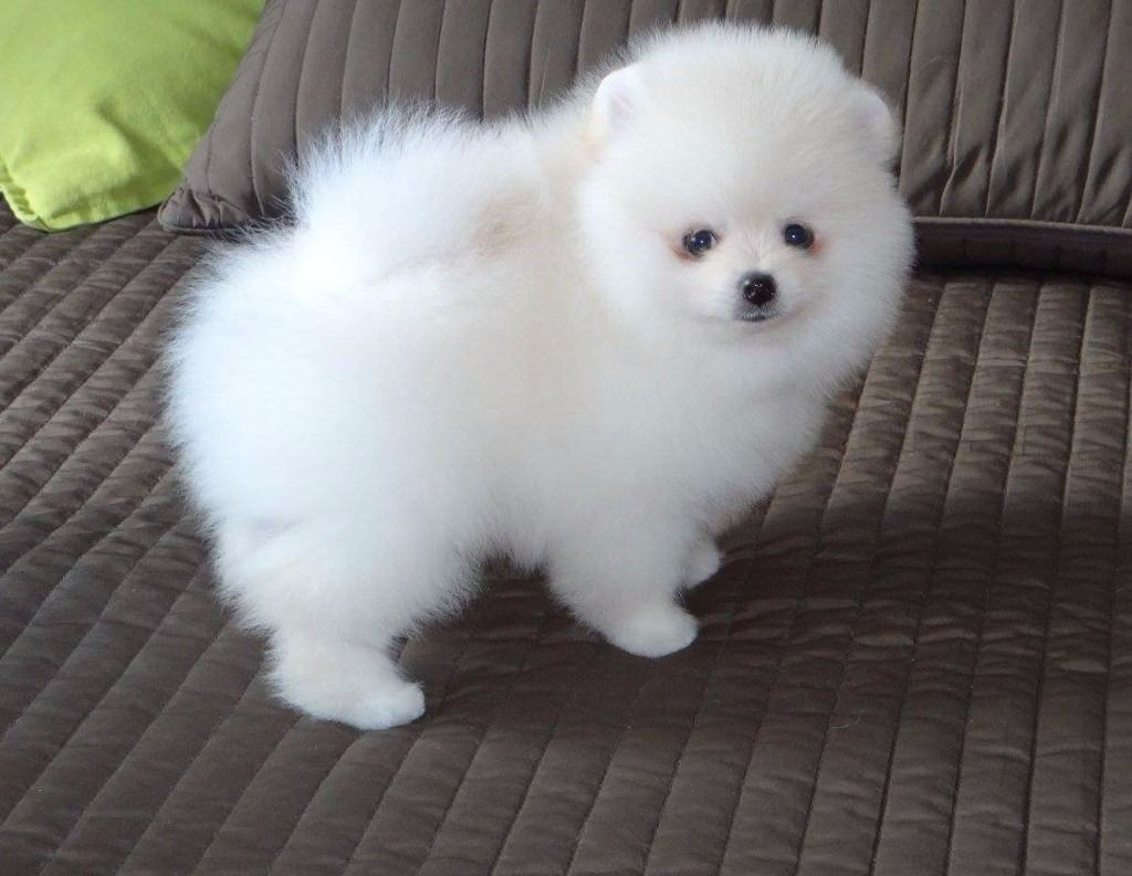 pomeranian breeders va pomeranian puppies for sale virginia beach boulevard va 4714