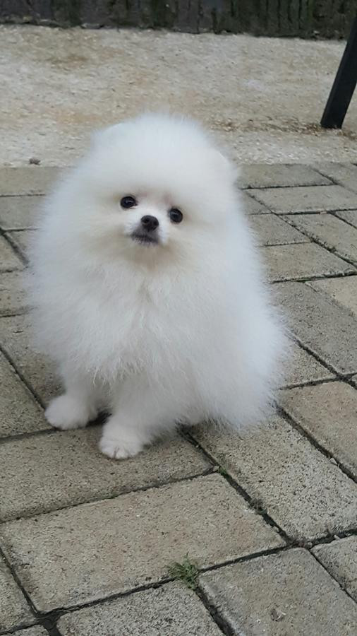 pomeranian breeders in pa pomeranian puppies for sale halifax pa 203853 3373