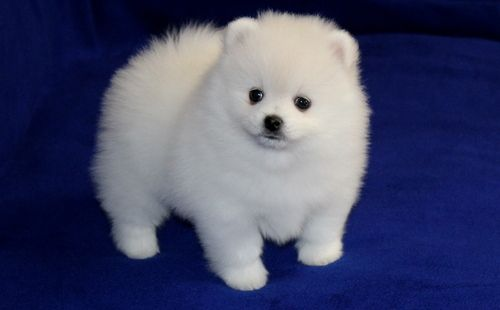 pomeranian puppies for sale in san diego pomeranian puppies for sale san diego ca 206026 7781