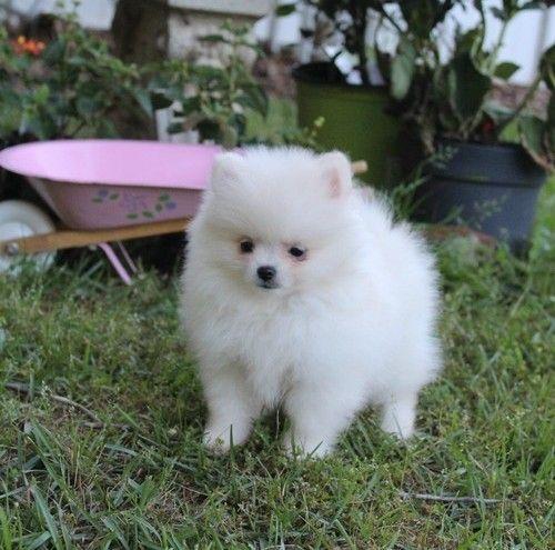 Pomeranian Puppies For Sale Bozeman Mt 208489