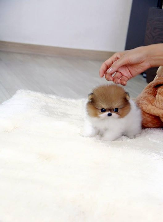 pomeranian breeders in tn pomeranian puppies for sale memphis tn 208688 6157