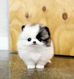 Pomeranians For Sale In Virginia Beach