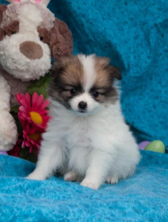 pomeranian california pomeranian puppies for sale california street ca 209129 2460