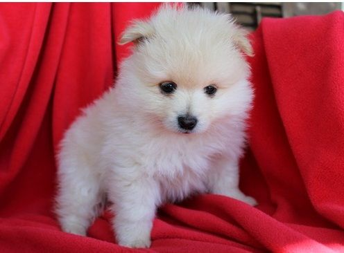 pomeranian puppies for sale in washington pomeranian puppies for sale washington dc 209167 1178