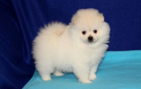 pomeranian puppies for sale in washington pomeranian puppies for sale washington dc 209169 9427