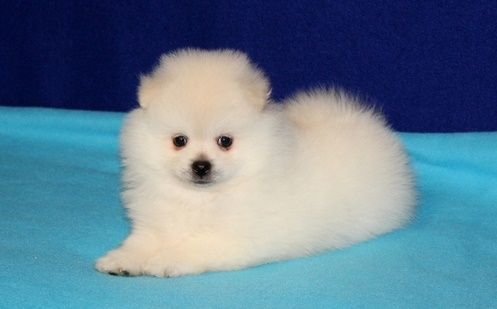 pomeranian puppies for sale in washington pomeranian puppies for sale washington dc 209170 3834