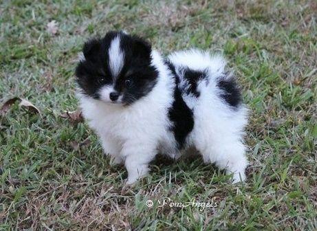 Pomeranian Puppies For Sale Houston Tx 210755