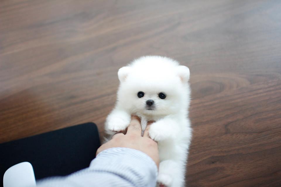Pomeranian Puppies For Sale Memphis Tn 210974