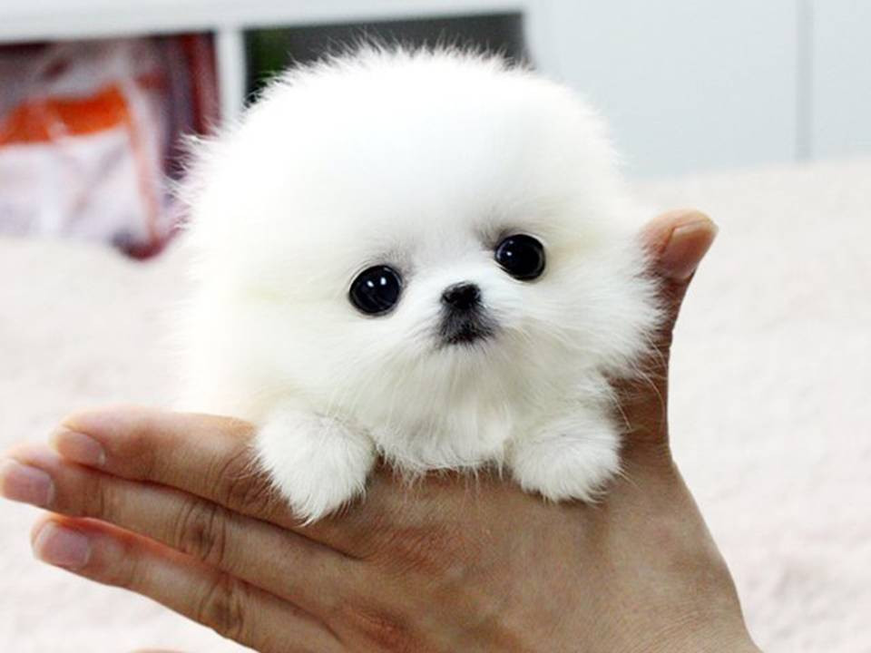 Teacup Pomeranian Puppy For Sale In New South Wales Australia