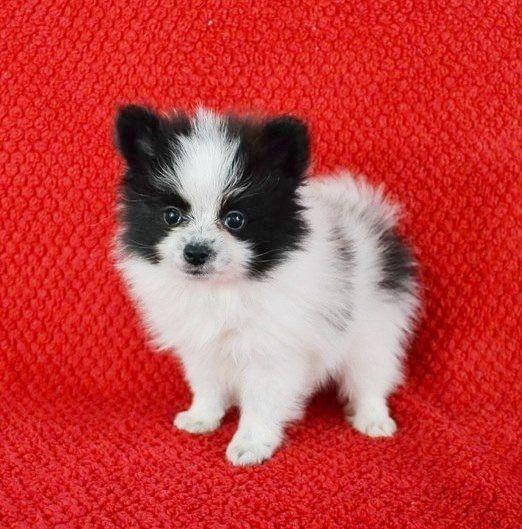 Pomeranian Puppies For Sale Houston Tx 217309