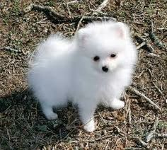 pomeranian san diego pomeranian puppies for sale san diego ca 218095 6736