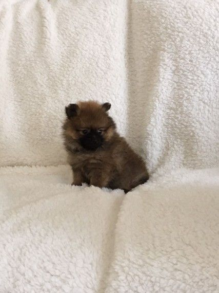 pomeranian breeders va pomeranian puppies for sale virginia beach va 219680 4303