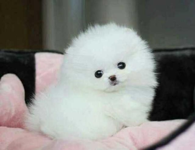 pomeranian breeders va pomeranian puppies for sale virginia beach va 219783 9311