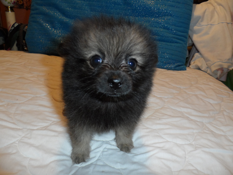 Pomeranian Puppies For Sale Goodlettsville Tn 220057