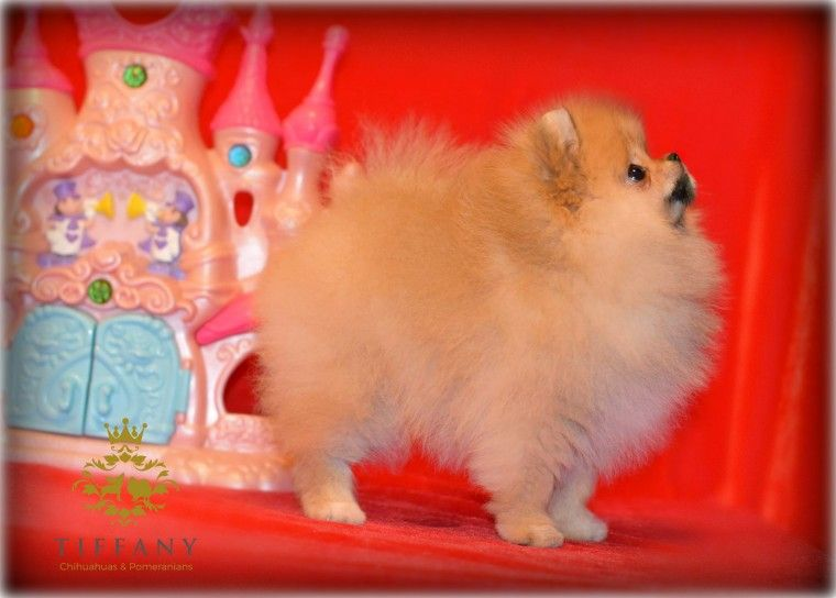Pomeranian Puppies For Sale | Herkimer County, NY #222780