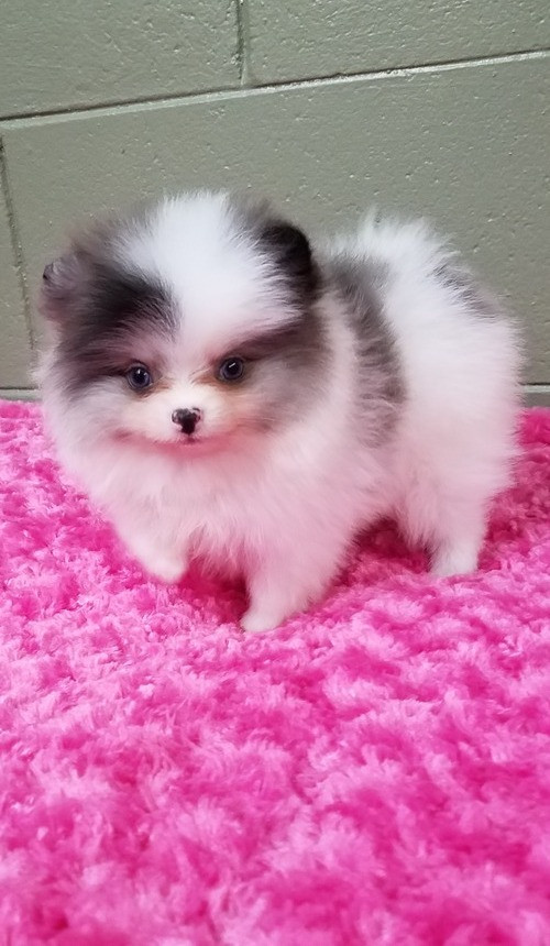 teacup pomeranian for sale in ky pomeranian puppies for sale louisville ky 223131 3320
