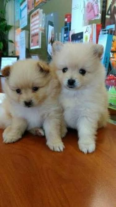 pomeranian puppies for sale in alabama pomeranian puppies for sale huntsville al 225487 4584